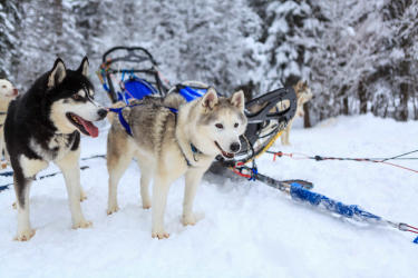 Dog Sledding Discovery 4 pers