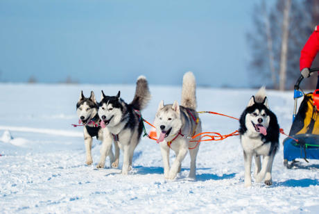 Dog Sledding activity